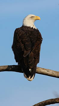 Eagle Stare by Emily Spivy