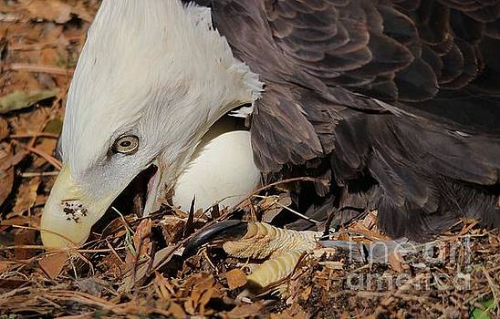 Paulette Thomas - Eagle With Her Egg