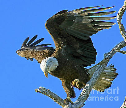 Eagle's Balance by Larry Nieland