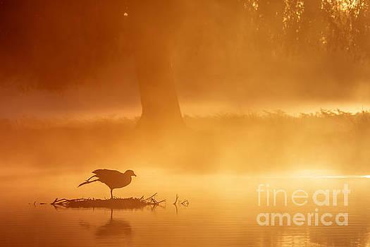 Earasian Coot at sunrise by Paul Farnfield