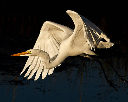 Early Light Egret by Lamarre Labadie