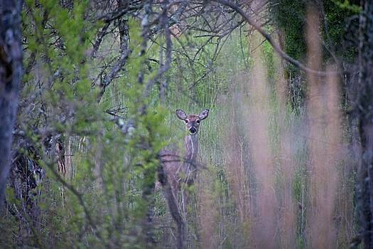 Early Morning Deer by John Benedict