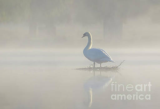 Early morning Mute Swan - Cygnus olor - on serene, misty pond by Paul Farnfield