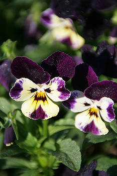 Early morning pansies by Andrea Jean