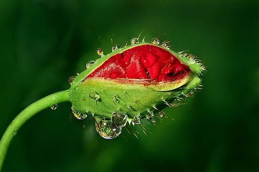Yuri Peress - Early Morning Poppy