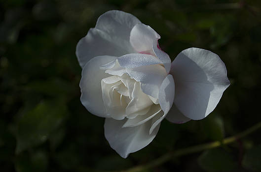 Early morning rose by Dan Hefle
