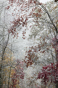 Early snow on autumn leaves background by Natalie Schorr