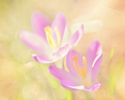 Early Spring Crocus by Noah Browning