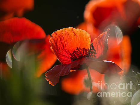 Early Spring Poppies by Rachel Morrison