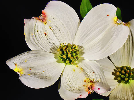 Easter Dogwood by Michael Putnam