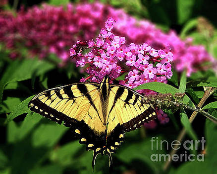Eastern Tiger Swallowtail Butterfly by Dave Nevue