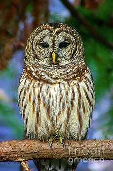 Eastern Barred Owl by Gregory Schultz