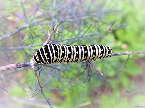 Eastern Black Swallowtail Caterpillar  by Hannah Underhill