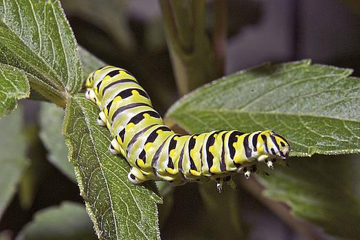 Michael Peychich - Eastern Black Swallowtail Caterpillar II