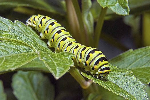Michael Peychich - Eastern Black Swallowtail Caterpillar III