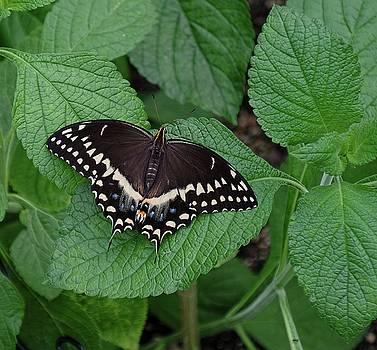 Eastern Black Swallowtail by Ronda Ryan