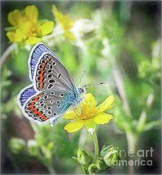 Eastern Blue Butterfly by Peggy Franz