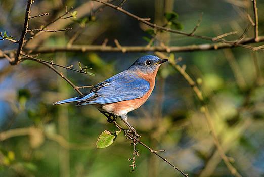 Eastern Bluebird 122520150843 by WildBird Photographs