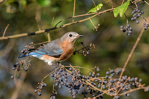 Eastern Bluebird and Purple Berries 122520150710 by WildBird Photographs