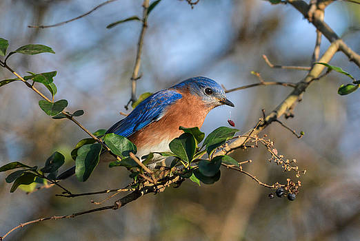 Eastern Bluebird Dropping Berry 122520150895 by WildBird Photographs
