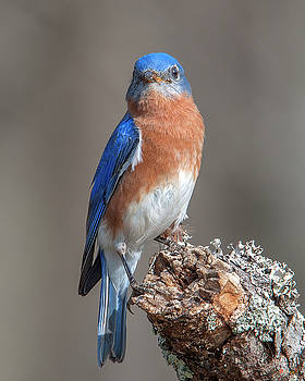 Eastern Bluebird DSB0300 by Gerry Gantt
