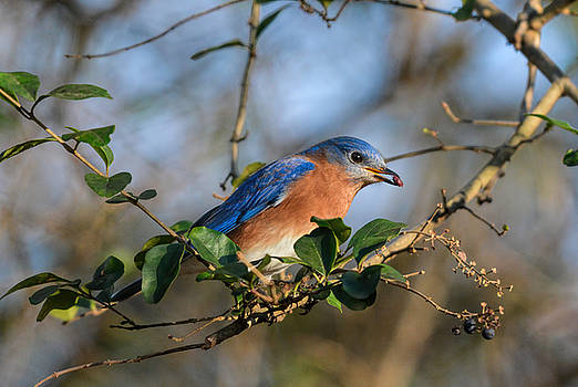 Eastern Bluebird Eating Berry 122520150894 by WildBird Photographs