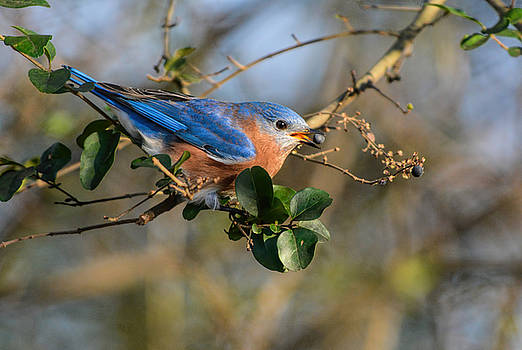 Eastern Bluebird Eating Berry 122520150941 by WildBird Photographs
