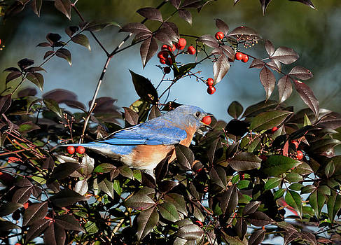 Eastern Bluebird Eating Holly Berry 122520151107 by WildBird Photographs