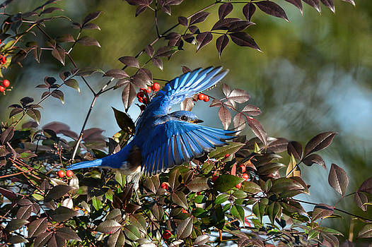 Eastern Bluebird Flying Out Of Berry Bush 122520151120 by WildBird Photographs