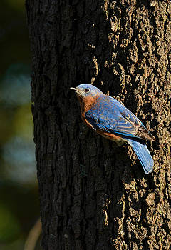 Eastern Bluebird Hanging On Tree 122520151012 by WildBird Photographs