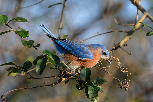 Eastern Bluebird In The Berry Bush 122520150902 by WildBird Photographs