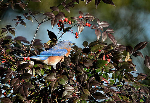 Eastern Bluebird In The Holly Berry Bush 122520151112 by WildBird Photographs