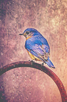 Eastern Bluebird In The Rain by Cynthia Wolfe
