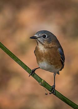 Eastern Bluebird by Jim Johnson