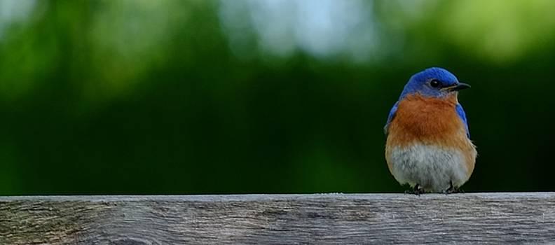 Eastern Bluebird - male by Peggy McDonald