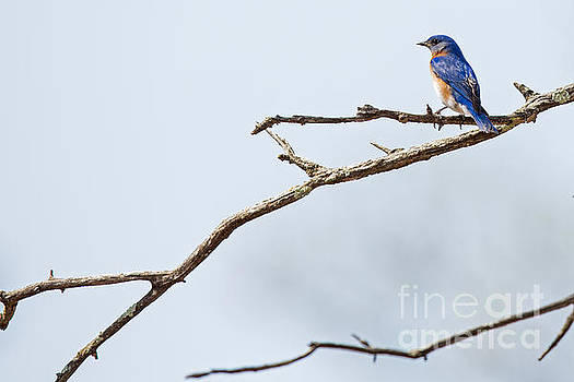 Eastern Bluebird by Natural Focal Point Photography