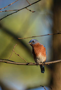 Eastern Bluebird On A Branch 122520150527 by WildBird Photographs