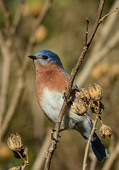 Eastern Bluebird On Branch 122520151133 by WildBird Photographs