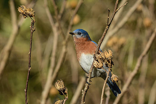 Eastern Bluebird On Branch 122520151139 by WildBird Photographs
