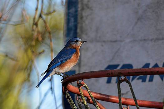 Eastern Bluebird On Old Basketball Goal 122520150582 by WildBird Photographs