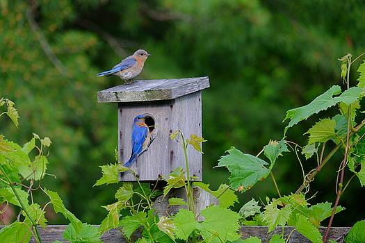 Eastern Bluebird Pair by Peggy McDonald