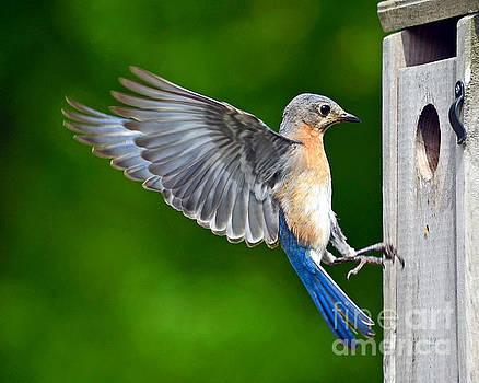 Eastern Bluebird - Papa by Sue Stefanowicz