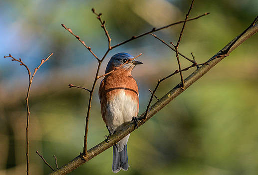 Eastern Bluebird Peeking Behind Branch 122520150598 by WildBird Photographs