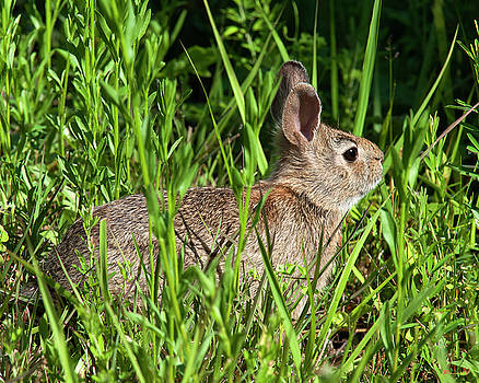 Eastern Cottontail Rabbit DMAM0034 by Gerry Gantt