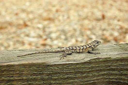 Eastern Fence Lizard by Rich Leighton