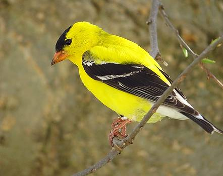 Eastern Goldfinch by Lori Frisch
