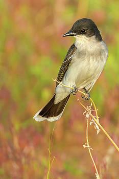 Eastern Kingbird In Colorado by John De Bord