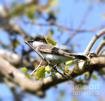 Eastern Kingbird by Kerri Farley