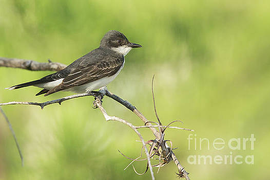 Eastern Kingbird by Natural Focal Point Photography