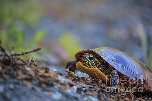 Eastern Painted Turtle Chrysemys picta by Edward Fielding
